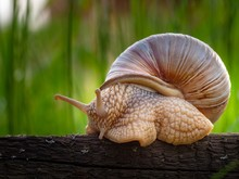 Closeup Of A Snail In A Shell ...