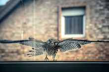 Germany, North Rhine-Westphalia, Grevenbroich, Common Kestrel (Falco Tinnunculus) Flying Toward Clean Transparent Windowpane