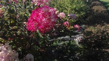 Selective Focus Shot Of Beautiful Bush With Pink Flowers Under The Sunlight
