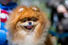 Female Pomeranian With Tongue ...