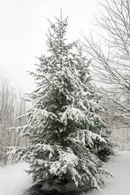Snow-ladened Evergreen Tree In...