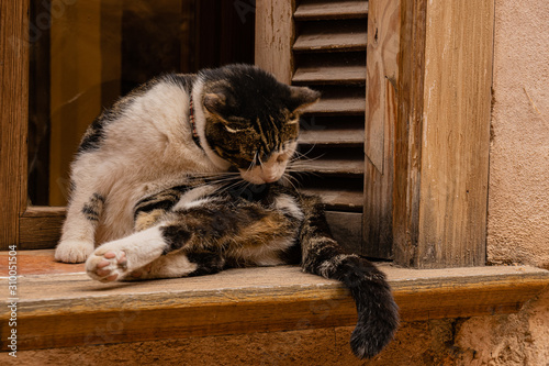CAT LICKING IN THE WINDOW COCKE Canvas Print
