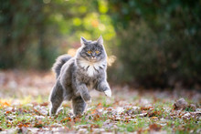 Blue Tabby Maine Coon Cat Outd...