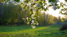Branches Of An Apple Tree With...