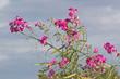 Blüten und Früchte der Breitblättrigen Platterbse (Lathyrus latifolius).