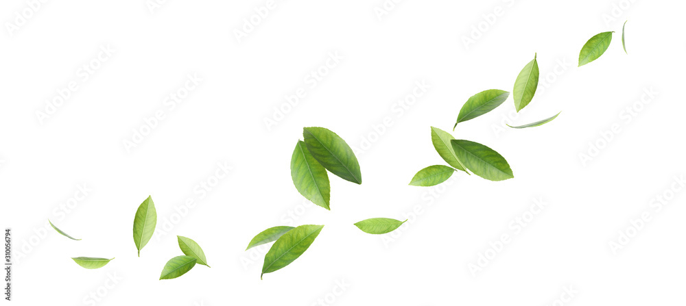 Fototapeta Fresh green citrus leaves on white background