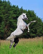 Rearing Grey Dappled Arabian H...