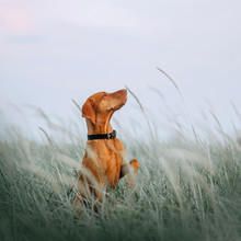 Hungarian Vizsla Dog Sitting In Tall Grass Holding Paw Up