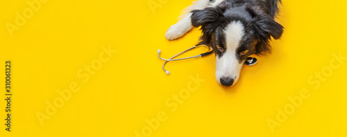 Valokuva Puppy dog border collie and stethoscope isolated on yellow background