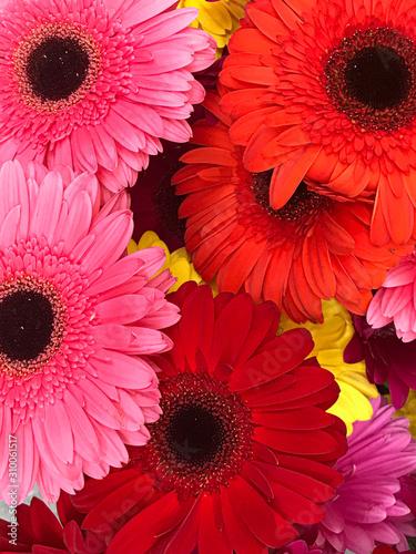 Barberton daisy in close up Canvas Print