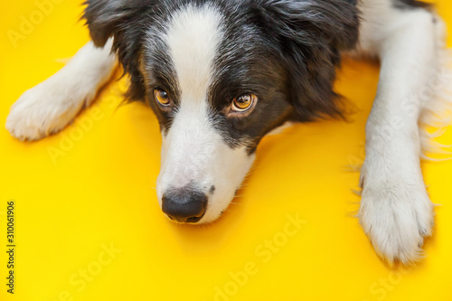 Funny studio portrait of cute smilling puppy dog border collie isolated on yellow background Canvas Print