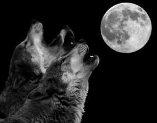 Obraz na Szkle Współczesny howling wolf in front of full moon - heulender Wolf vor Vollmond