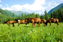 Horse Among Green Grass In Nat...