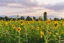 Field Of Sunflowers In Bloom I...
