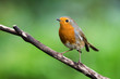 European Robinin in his environment. His Latin name is Erithacus rubecula.