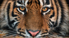 Portrait Of A Tiger.Young Male...