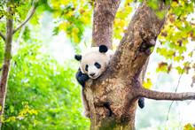 中国のパンダ