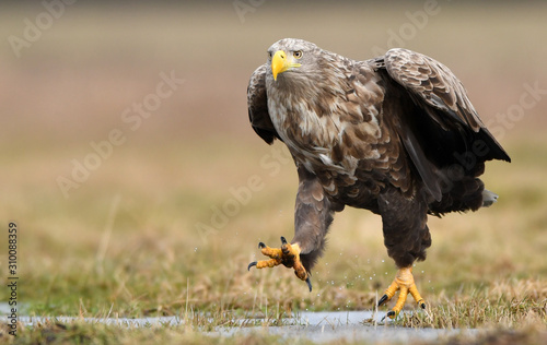 Fotografia, Obraz White tailed eagle (Haliaeetus albicilla)