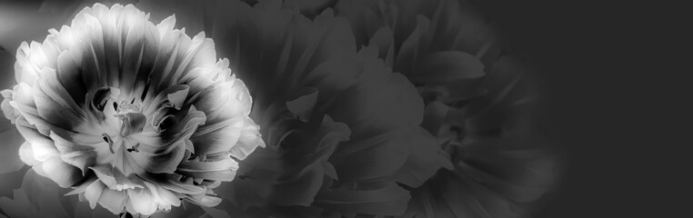 Tulip on a textured background. Condolence card. Empty place for emotional, sentimental text or quote. Black and white image