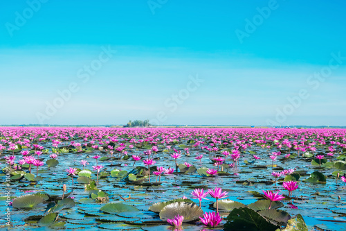 Fotografie, Obraz Bloom water lily flowers at the lake, Wonderful pink or red water lily landscape