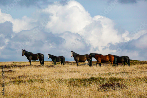 Fotografie, Obraz Wild Horses (Brumbies) - Bogong High Plains - Victorian High Country