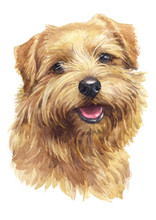 Water Colour Painting, Brown Dog, Norfolk Terrier 042