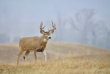 Whitetail Buck In Meadow On A ...