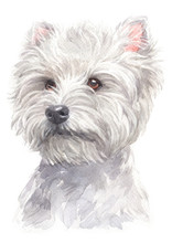 Water Colour Painting Of West Highland White Terrier 071