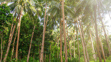 Low Angle View Of Coconut Palm Trees In A Lush, Green Plantation In The Philippines. The Tall, Skinny Trunks Have Notches For Climbing.