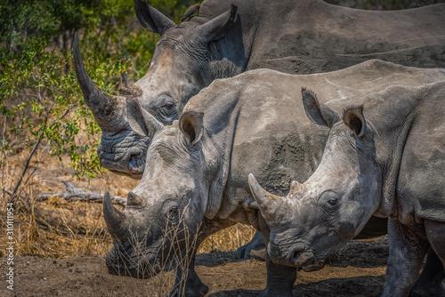 Photo Three white rhino standing abreast - South Africa
