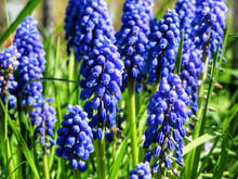 Closeup Of Blue Grape Hyacinths In The Garden