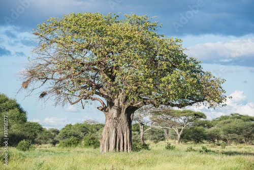 Photo baobab tree of life in Africa