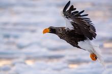 Sea Eagles At Rausu Hokkaido Japan