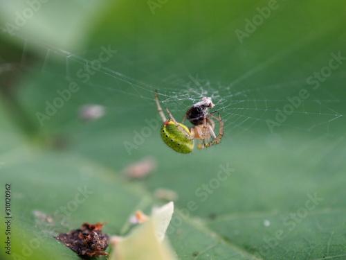 Photo Araignée verte dans sa toile