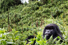VOLCANOES NATIONAL PARK, RWANDA Silverback Mountain Gorilla In Habitat.
