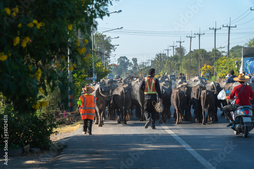 Photo  During the dry season, people who have a career raising buffalo