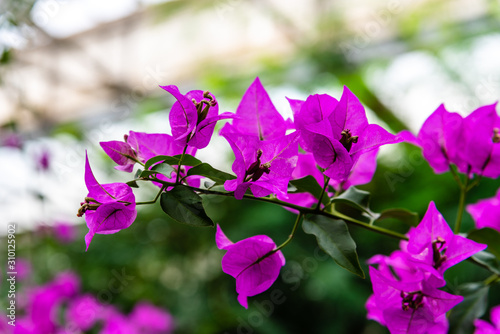 Close up view of Bougainvillea glabra, the lesser bougainvillea or paperflower Wallpaper Mural