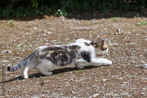 Obraz Young three month old semi-feral kitten stalking a bird on gravel crouched low to the ground, animal behaviour - fototapety do salonu