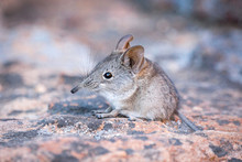 Close Up Of A Cute Elephant Shrew (Macroscelididae) (belongs To The Little 5) Sitting On A Stone, South Africa