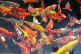 Japanese fish for ornamental ponds and aquariums