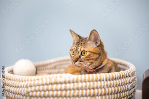 Fotografía カゴに入るネコ