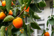 Ripe Persimmons Fruit Hanging On Persimmon Branch Tree.