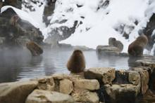 Snow Monkey At Nagano, Japan
