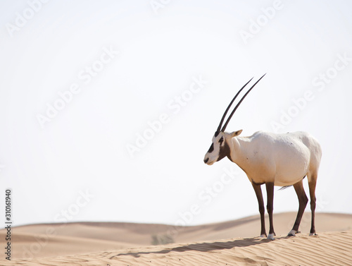 Arabian oryx walking in the desert dunes in the Middle East. Wallpaper Mural