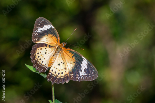 Image of Leopard lacewing Butterfly(Female) on a natural background Canvas Print
