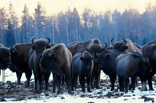 Vászonkép  Aurochs bison in nature / winter season, bison in a snowy field, a large bull bu