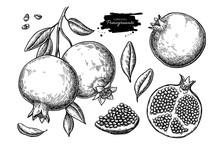 Pomegranate Vector Drawing. Ha...