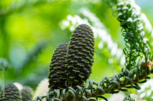 Beautiful close-up of young blue cones on branches of fir Abies koreana Silberlocke with green and silvery spruce needles on background Wallpaper Mural