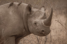 Black Rhino Profile