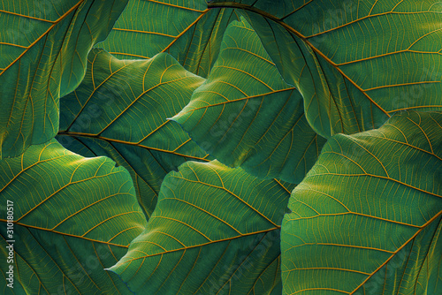 tropical leaves, dark green foliage in jungle, nature background - 310180517